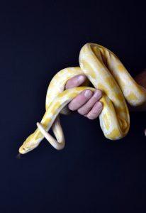 Mark's Ark Albino Burmese Python