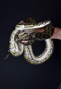 Mark's Ark Burmese Python